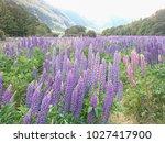 purple lupine blossom field...   Shutterstock . vector #1027417900