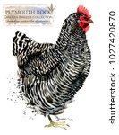plymouth hen. poultry farming.... | Shutterstock . vector #1027420870