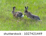 Stock photo european hare running one after another in march madness 1027421449
