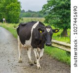 frisian dairy cow  walking on a ... | Shutterstock . vector #1027441690