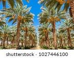 Plantation Of Date Palms....