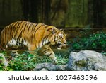 baikal tiger in the zoo. | Shutterstock . vector #1027463596