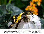 Small photo of Yellow Lepidoptera butterfly close up