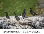 european shag colony on an big... | Shutterstock . vector #1027479658
