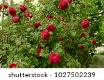 high growing bushes of fragrant ... | Shutterstock . vector #1027502239