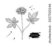 ginseng berry vector drawing.... | Shutterstock .eps vector #1027520146