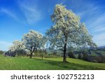 Pear Trees In Blossom ...