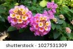 Pink Lantana Flowers  Lantana...