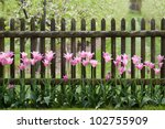 Pink Tulips At Garden Fence In...