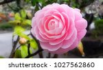 Water Drop On Pink Camellia In...