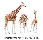 the giraffe family  giraffa... | Shutterstock . vector #102763148