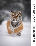 the siberian tiger  panthera... | Shutterstock . vector #1027688284