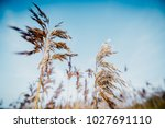 Small photo of Bent grass in blue sky background