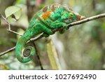 the common chameleon or... | Shutterstock . vector #1027692490