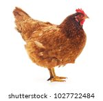 one brown chicken on a white... | Shutterstock . vector #1027722484