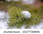 Small photo of Bright green fresh fir tree branch with scow. Selective focus