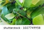 Green Cicada On Green Leaf