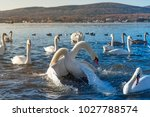 two adult mute swan fighting... | Shutterstock . vector #1027788574
