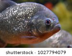 piranha in water | Shutterstock . vector #1027794079