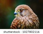 Portrait of Common Kestrel (Falco Tinnunculus)