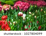 tulip flower beautiful bouquet... | Shutterstock . vector #1027804099
