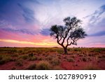 A Hakea Tree Stands Alone In...