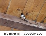 Single Barn Swallow