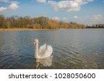 Majestic Adult Mute Swan Seen...