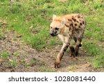 lovely spotted hyena | Shutterstock . vector #1028081440