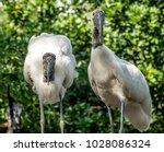 wood stork  mycteria americana  ...   Shutterstock . vector #1028086324