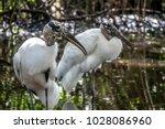 wood stork  mycteria americana  ...   Shutterstock . vector #1028086960