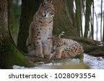 eurasian lynx  lynx lynx ...   Shutterstock . vector #1028093554