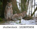 eurasian lynx  lynx lynx ...   Shutterstock . vector #1028095858