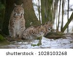 eurasian lynx  lynx lynx ...   Shutterstock . vector #1028103268