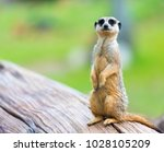 Portrait Of Meerkat Suricata...