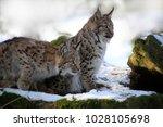 eurasian lynx  lynx lynx  two...   Shutterstock . vector #1028105698