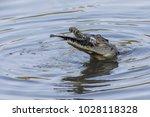 a wild saltwater crocodile... | Shutterstock . vector #1028118328