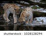 eurasian lynx  lynx lynx  two...   Shutterstock . vector #1028128294