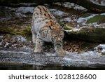 eurasian lynx  lynx lynx    Shutterstock . vector #1028128600