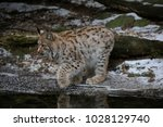 eurasian lynx  lynx lynx  young ...   Shutterstock . vector #1028129740