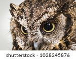 Stock photo photo of an owl in macro photography high resolution photo of owl cub the bureaucratic owl also 1028245876