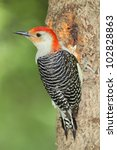 Male Red Bellied Woodpecker ...