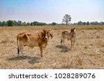 brown cow standing   field | Shutterstock . vector #1028289076