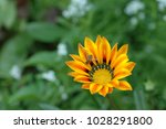 Single Yellow And Red Gazania...