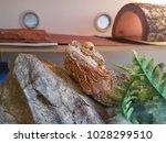 Spiky Brown Lizard In Aquarium