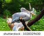 pelican sitting on branch in... | Shutterstock . vector #1028329630