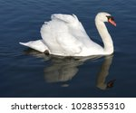 Proud Mute Swan And His Mirror...
