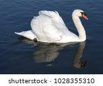 Mute Swan In Its Habitat
