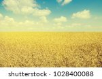 Wheat Field. Cereals. Harvest...