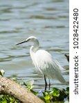 a gorgeous great egret  ardea...   Shutterstock . vector #1028422480